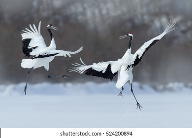 Wildlife scene from snowy nature. Dancing pair of Red-crowned cranes with open wings in flight, Hokkaido, Japan.