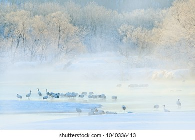 Wildlife scene, snowy nature. Otowa Bridge Cranes. Birds in the water with fog, Flock of Red-crowned in the river, Hokkaido, cold Japan.