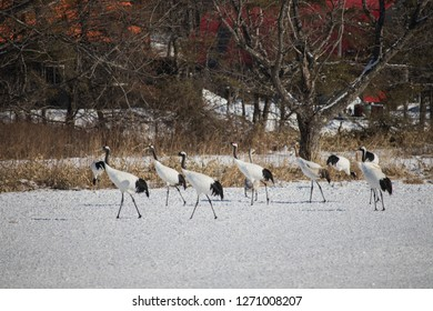 Wildlife scene from snowy nature. Red-crowned crane in snowy meadow, Hokkaido, Japan.