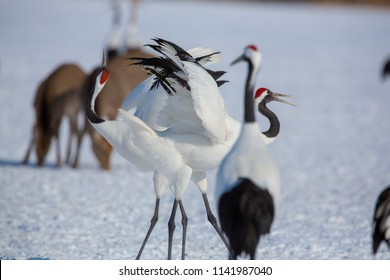 Wildlife scene from snowy nature. Two Red-crowned crane in snowy meadow, with snow storm, Hokkaido, Japan.