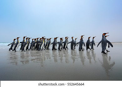Wildlife scene from wild nature. Group of King penguins, Aptenodytes patagonicus, going from white sand in to the sea, artic animals in the nature habitat, dark blue sky, Falkland Islands.