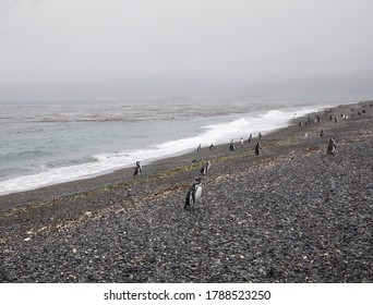 Wildlife. Seabirds. Colony of penguins, Spheniscus magellanicus, in the Hammer island shore. The beautiful ocean waves and coast in a foggy day.