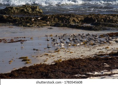 Wildlife. Seabirds. Flock of Calidris alba, also known as Sanderlings, in the beach. The ocean waves, white sand, sargassum seaweed and rocks.