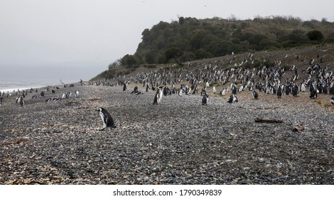 Wildlife. Seabirds. Panorama view the penguins, Spheniscus magellanicus, colony in the Hammer island shore. The beautiful ocean waves and coast in a foggy day.
