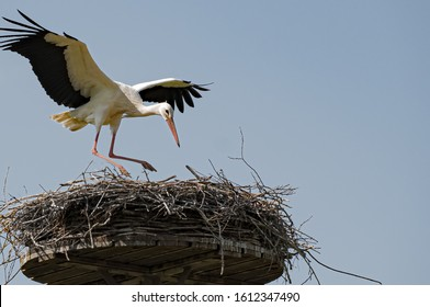 Wildlife, stork, breeding season - A white stork (Ciconia ciconia) is landing towards its nest, built on a mast, on a sunny cloudless day, with clear blue sky in April, near Schröck in Marburg.