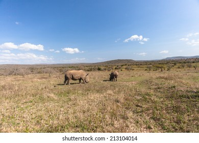 Wildlife Terrain Rhino's Wildlife Rhinos eating in their habitat wilderness terrain reserve park.