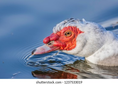 Wildlife UK.Close up portrait of muscovy duck swimming in lake with reflection of bird in blue water.Nature details.Waterbird floating in pond.