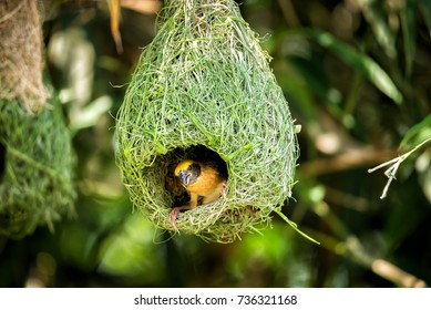 Wildlife - Weaver Birds Nest on Bamboo Tree in Nature Outdoor
