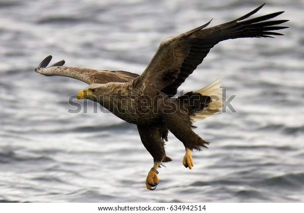 Wildlife - White tailed eagle swooping to catch a fish from a highland loch