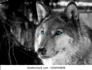 Wildlife-Amazing black and white photo of a big gray and white wolf with vibrant blue eyes - Side/Front view - Freedom concept. Find your way