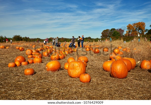 Wilkens farm, Yorktown Heights, New York/USA - October, 21, 2017: Pile of orange pumpkins sit in field ready for pickup. Families are picking pumpkins on a farm. Autumn colors