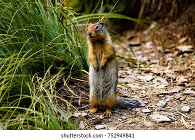 Will Pose for Food - Columbian Ground Squirrel