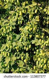 Willamette Valley Oregon hops just before being harvested