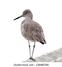 Willet Bird on a wood fence, isolated on white.