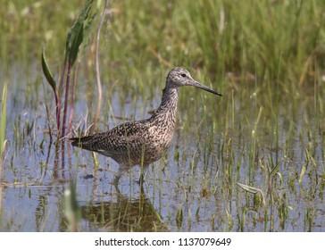 Willet (breeding plumage)