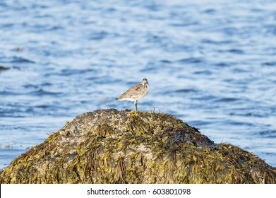 Willet on comfortable perch on Buzzards Bay rock