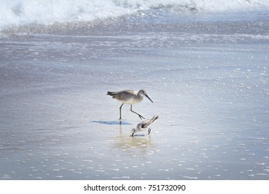 willet and sandpiper looking for food on Florida Beach