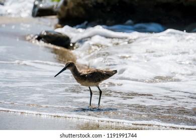 Willet sea bird on the shore in laguna beach california