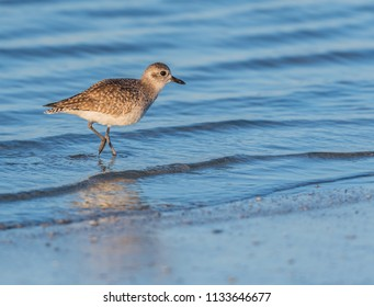Willet Stands at Attention While Hunting in shallow ocean water