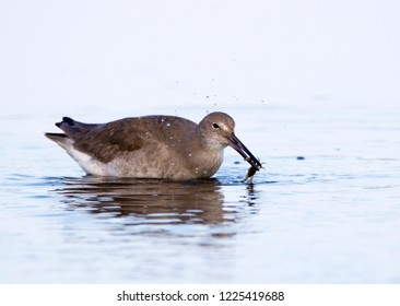 Willet (Tringa semipalmata) eating a small crab in shallow water near St. Pete Beach, Florida.