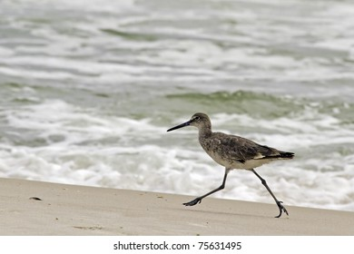 A willet, type of sandpiper bird, scurries in the surf of an Alabama beach.