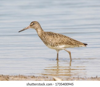 Willet walking through a tide pool on the Texas Gulf Coast