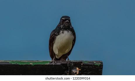 willie wag tail bird