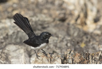 A Willie Wagtail, Rhipidura leucophrys, perched on a rock.