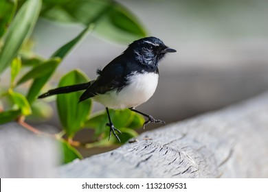 Willie Wagtail - Taken at Ocean Beach, Umina Beach on the Central Coast, NSW, Australia