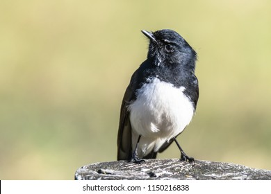 Willie Wagtail - Taken at Tuggerah Lakes, a wetland system of three interconnected coastal lagoons, are located on the Central Coast of New South Wales, Australia