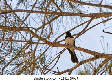 A Willie Wagtail(Rhipidura leucophrys leucophrys), perched in a Casuarina (equisetifolia) tree, looking quizzically down toward the photographer; on Goodwood Island, NSW, Australia.