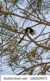A Willie Wagtail(Rhipidura leucophrys leucophrys), perched in a Casuarina tree; on Goodwood Island, NSW, Australia.
