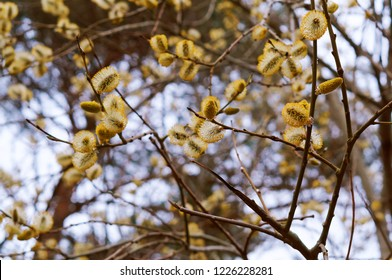 willow branch, flowering palm branch, yellow buds on the tree