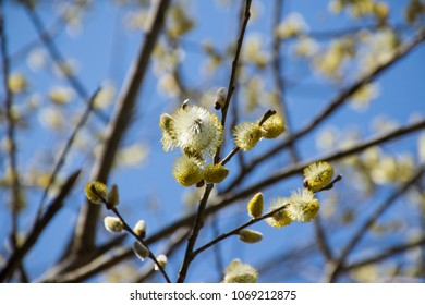 Willow branches blooming on blue sky background