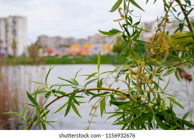 Willow branches with green leaves and flowers. Lake in the city. Blurred spring cityscape with urban buildings.  Green leaves and water reflection. Sallow branches. Yellow osier fresh foliage
