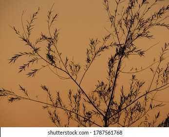 Willow branches silhouette at sunset