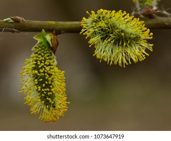 So willow bush is flowering. Its flowers give a lot of pollen.