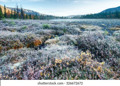 Willow bushes and dwarf birch covered with rime at frosty morning in tundra, Kunijok valley, Hibiny mountains above the Arctic circle, Russia