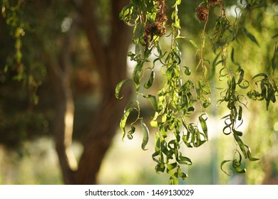 willow curly tree, closeup branches with green leaves in summer day with warm sunset light