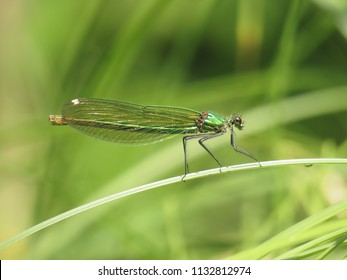 willow emerald damselfly dragonfly, Chalcolestes viridis, western willow spreadwing, damselfly, dragonfly, insect, animal, nature, wildlife, grey,