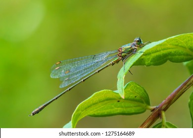 Willow emerald damselfly or western willow spreadwing (Chalcolestes viridis) drying wings bathing in sunlight.
