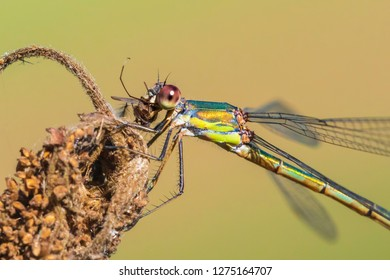 Willow emerald damselfly or western willow spreadwing Chalcolestes viridis eating a prey