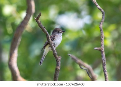 A willow flycatcher (Empidonax traillii) is a small insect-eating, neotropical migrant bird of the tyrant flycatcher family perched on a branch in the forest with a green background in BC, Canada.