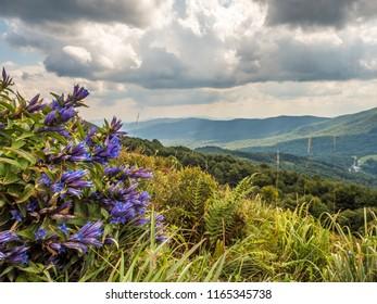 The willow gentian flowers (Gentiana asclepiadea) on the Polonina Carynska in Bieszczady Mountains,  Bieszczady County, Poland. Europe, Podkarpackie Voivodeship, Bieszczady, Carpathians,