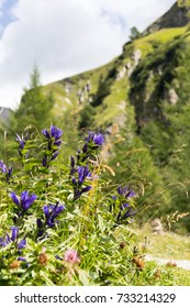 Willow Gentian (Gentiana asclepiadea), a beautiful, endangered, alpine flower species, growing in a remote valley of the Austrian Alps.