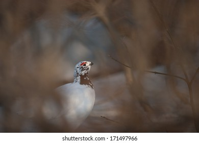Willow Grouse in spring feathers feeding on birch
