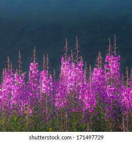 Willow herb in soft midsummer light