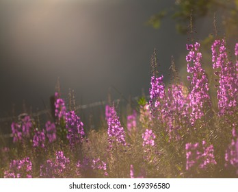 Willow Herb in summer light