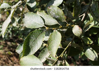 Willow leaves affected by powdery mildew