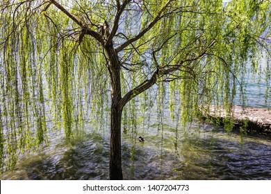 Willow in Lombardy, Italy. Lake Lago Maggiore landscape